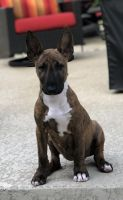 Bull Terrier Miniature Puppies for sale in Austin, TX, USA. price: NA