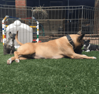 Bull Terrier Miniature Puppies for sale in Atlanta, GA, USA. price: NA