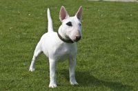 bull terrier miniature dog