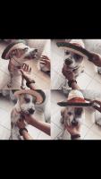 Bullenbeisser Puppies Photos
