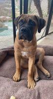 Bullmastiff Puppies for sale in Phoenix, AZ 85048, USA. price: NA