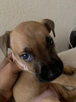Bullmastiff Puppies for sale in Tulsa, OK, USA. price: NA