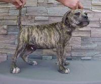 Bullmastiff Puppies for sale in Temecula, CA, USA. price: NA
