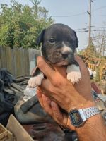 Bullmastiff Puppies for sale in French Camp, CA 95231, USA. price: NA