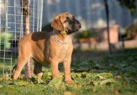 Bullmastiff Puppies for sale in Dallas County, TX, USA. price: NA