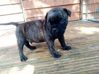 Bullmastiff Puppies for sale in Oakland, CA, USA. price: NA