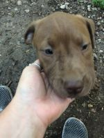 Bullmastiff Puppies for sale in Windyville, MO 65783, USA. price: NA