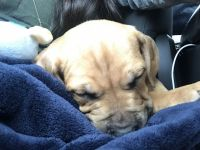 Bullmastiff Puppies for sale in West Haven, CT 06516, USA. price: NA