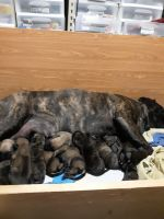 Bullmastiff Puppies for sale in Hastings, NE, USA. price: NA