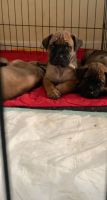 Bullmastiff Puppies for sale in Wentzville, MO, USA. price: NA