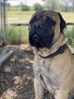 Bullmastiff Puppies for sale in Douglas, WY 82633, USA. price: NA