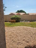 Bullmastiff Puppies for sale in Avondale, AZ, USA. price: NA