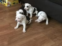 Bully Kutta Puppies for sale in New York Ranch Rd, Jackson, CA 95642, USA. price: NA