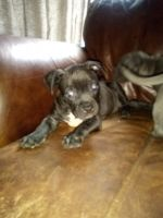 Bully Kutta Puppies for sale in FL-4, Jay, FL, USA. price: NA