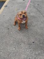 Bully Kutta Puppies for sale in Cincinnati, OH, USA. price: NA