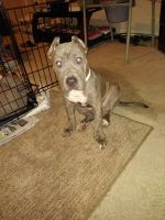 Bully Kutta Puppies for sale in Valrico, FL, USA. price: NA