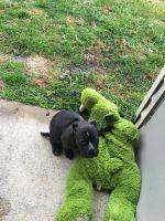 Bully Kutta Puppies for sale in Norfolk Industrial Park, Norfolk, VA 23502, USA. price: NA