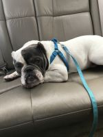 Bully Kutta Puppies for sale in Middletown, CT, USA. price: NA