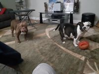 Bully Kutta Puppies for sale in Sacramento, CA, USA. price: NA