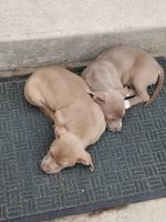 Bully Kutta Puppies for sale in Parkville, MD, USA. price: NA