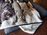 Bully Kutta Puppies for sale in Laveen Village, Phoenix, AZ 85041, USA. price: NA