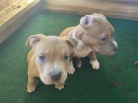 Bully Kutta Puppies for sale in Fort Lauderdale, FL 33351, USA. price: NA