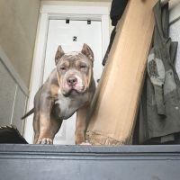 Bully Kutta Puppies Photos