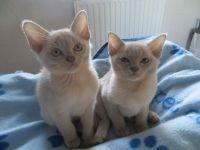 Burmese Cats Photos