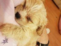 Cabecudo Boiadeiro Puppies Photos