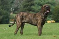 cabecudo boiadeiro dog
