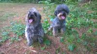 Cairland Terrier Puppies for sale in Clarksville, TN, USA. price: NA