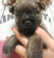 Cairland Terrier Puppies for sale in East Los Angeles, CA, USA. price: NA