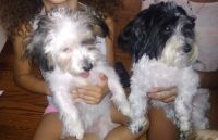 Cairn Terrier Puppies for sale in Southfield, MI, USA. price: NA