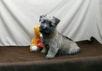 Cairn Terrier Puppies for sale in Jacksonville, FL, USA. price: NA