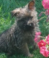 Cairn Terrier Puppies for sale in Buffalo, NY, USA. price: NA