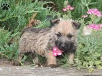 Cairn Terrier Puppies for sale in Carlsbad, CA, USA. price: NA