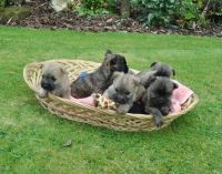 Cairn Terrier Puppies for sale in Tampa, FL, USA. price: NA