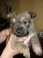 Cairn Terrier Puppies for sale in Eleroy, IL 61048, USA. price: NA