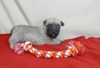 Cairn Terrier Puppies for sale in Midway Atoll, United States. price: NA