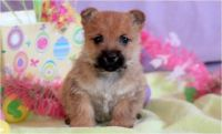 Cairn Terrier Puppies for sale in Montgomery, AL, USA. price: NA