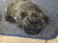 Cairn Terrier Puppies for sale in Atlanta, GA, USA. price: NA