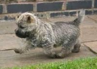 Cairn Terrier Puppies for sale in Beaver Creek, CO 81620, USA. price: NA