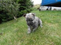 Cairn Terrier Puppies for sale in Chicago, IL, USA. price: NA
