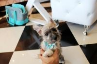 Cairn Terrier Puppies for sale in Fort Lauderdale, FL, USA. price: NA