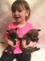 Cairn Terrier Puppies for sale in Portland, OR, USA. price: NA