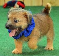 Cairn Terrier Puppies for sale in Los Angeles, CA, USA. price: NA