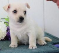 Cairn Terrier Puppies for sale in Alma Center, WI 54611, USA. price: NA