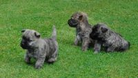 Cairn Terrier Puppies for sale in Nashville, TN, USA. price: NA