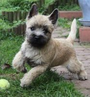 Cairn Terrier Puppies for sale in St. Louis, MO, USA. price: NA