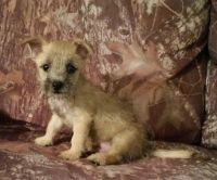 Cairn Terrier Puppies for sale in Milwaukee, WI, USA. price: NA